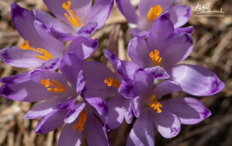 Krokusowa wiosna w Tatrach