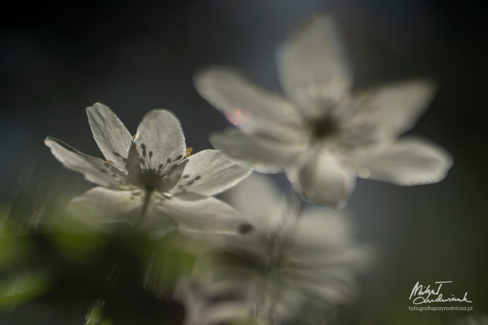 Zawilcowa wiosna w lesie