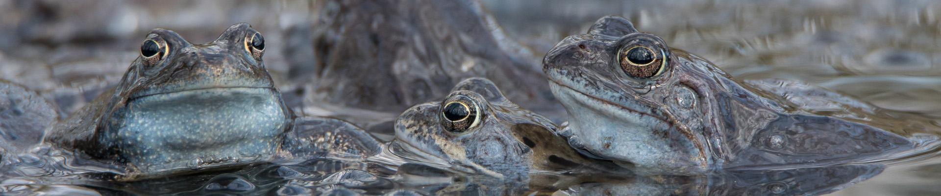 Żabie gody, czas miłości