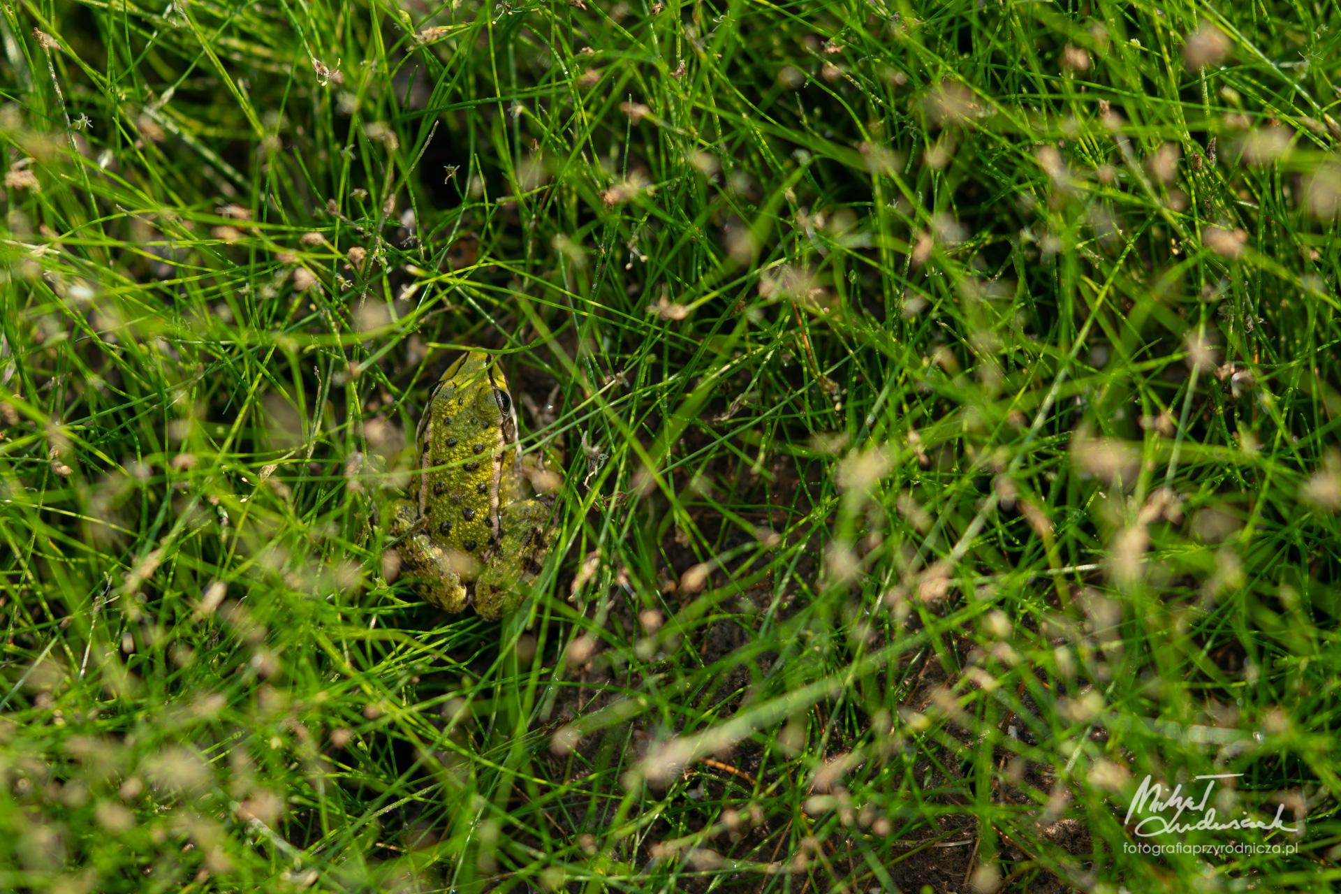 Zielona żabka w zieleni skąpana
