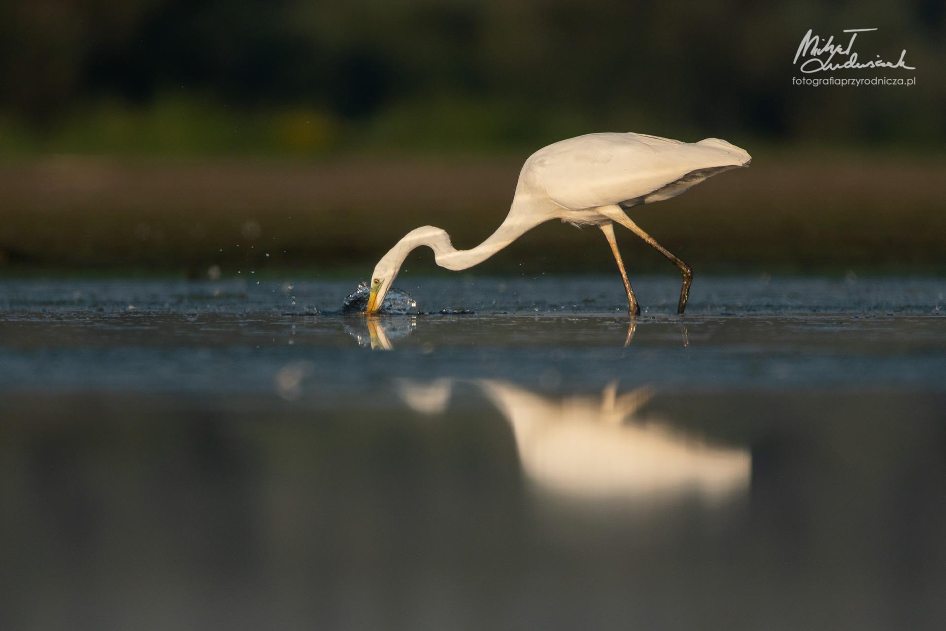 Nieudane polowanie - czapla biała
