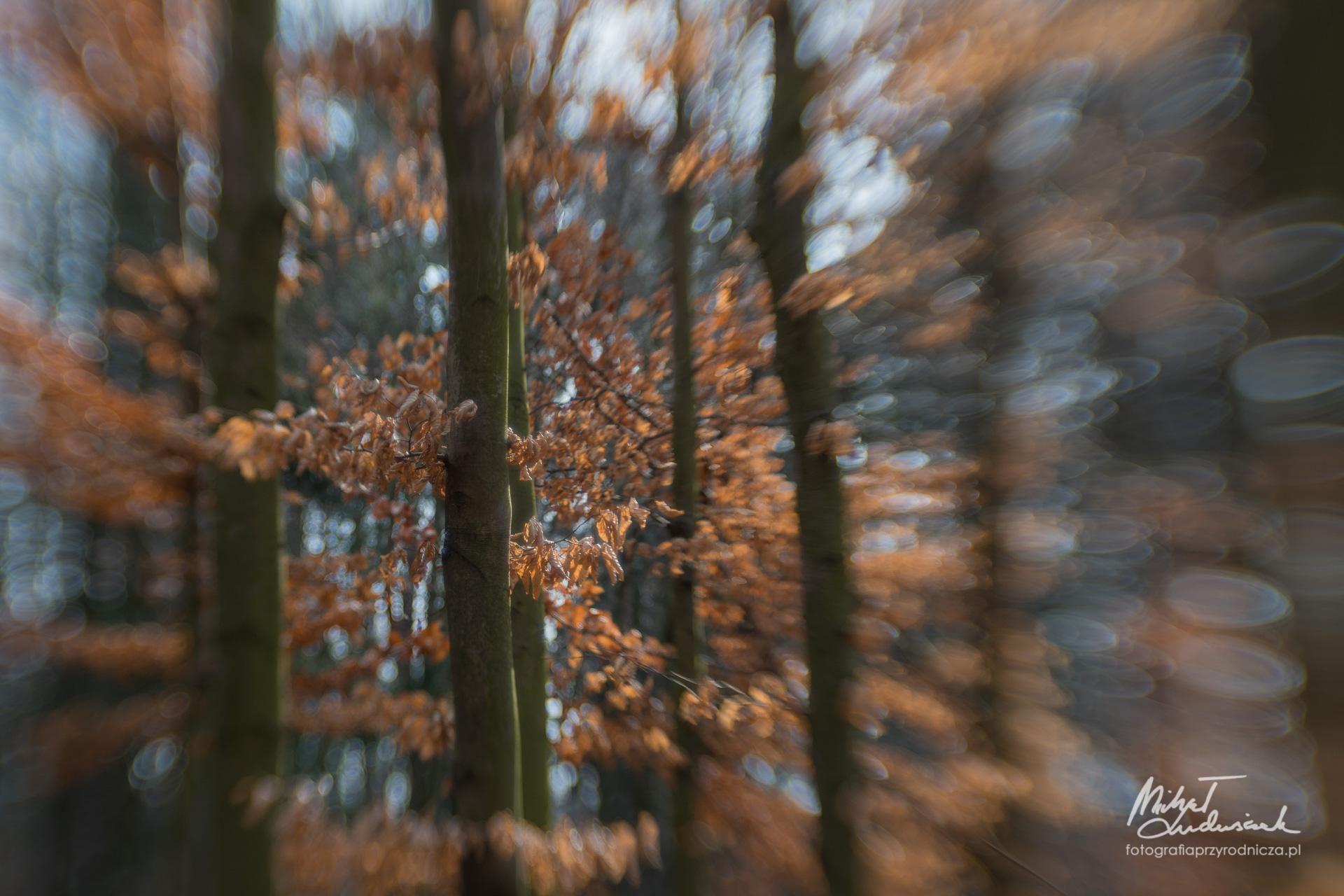 Las bukowy kreatywnie