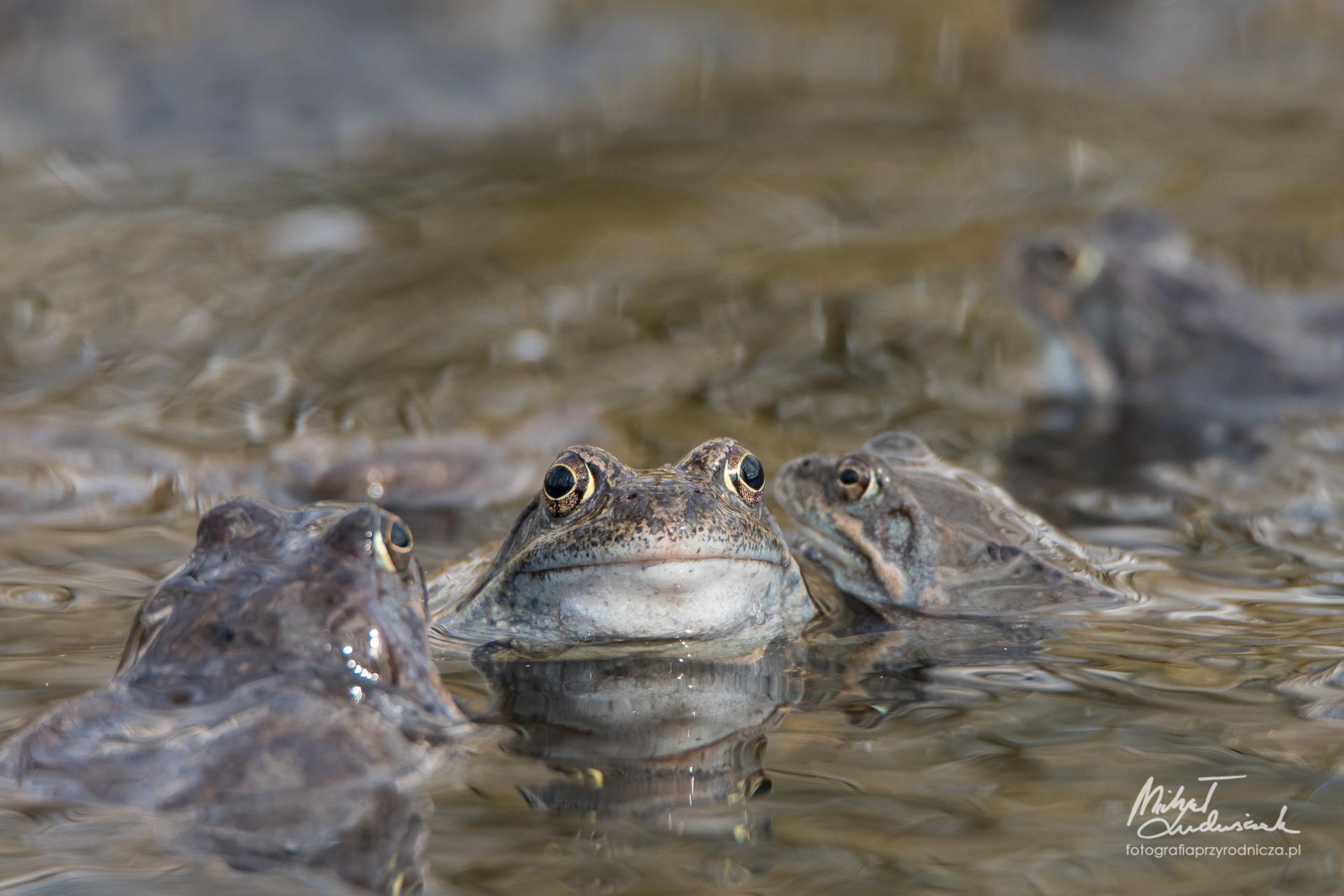 Żabie zgrupowanie