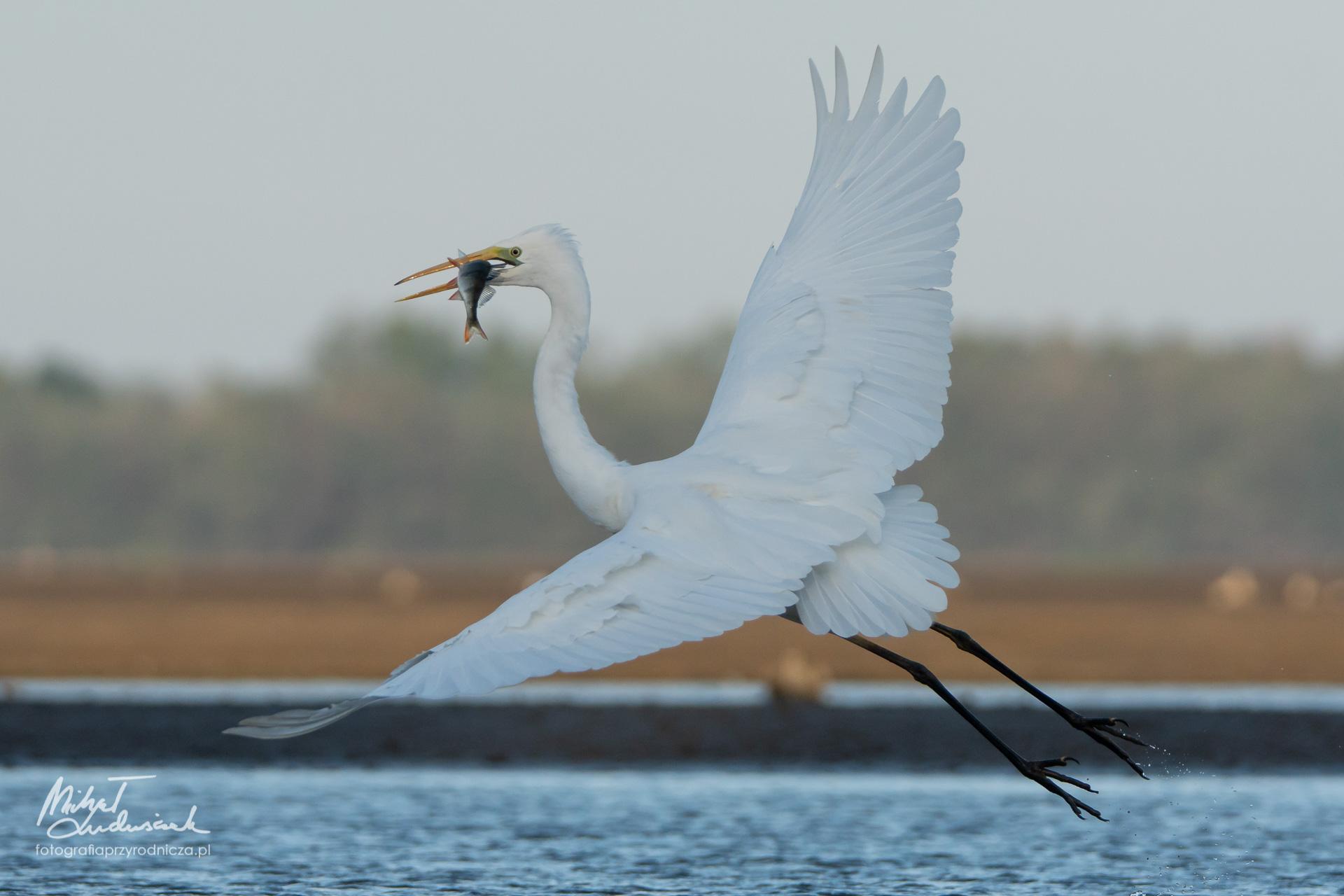 Czapla biała - lot z rybą