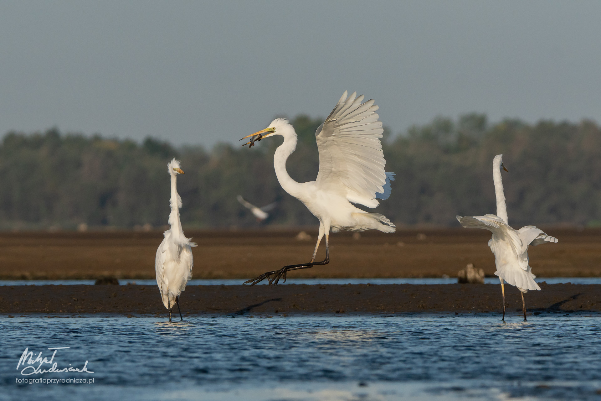 Czapla biała - lądowanie z rybką