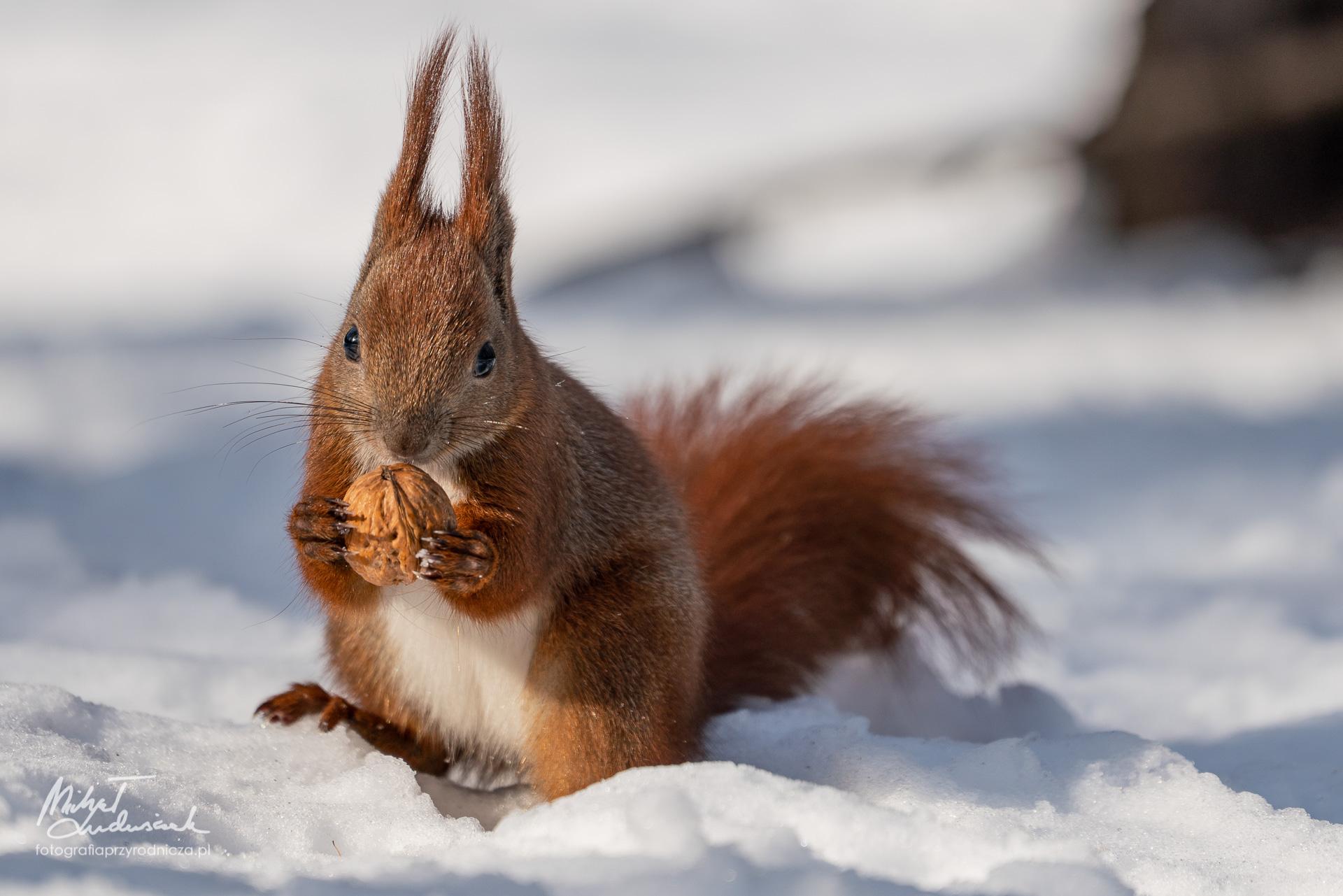 Wiewiórka z orzeszkiem
