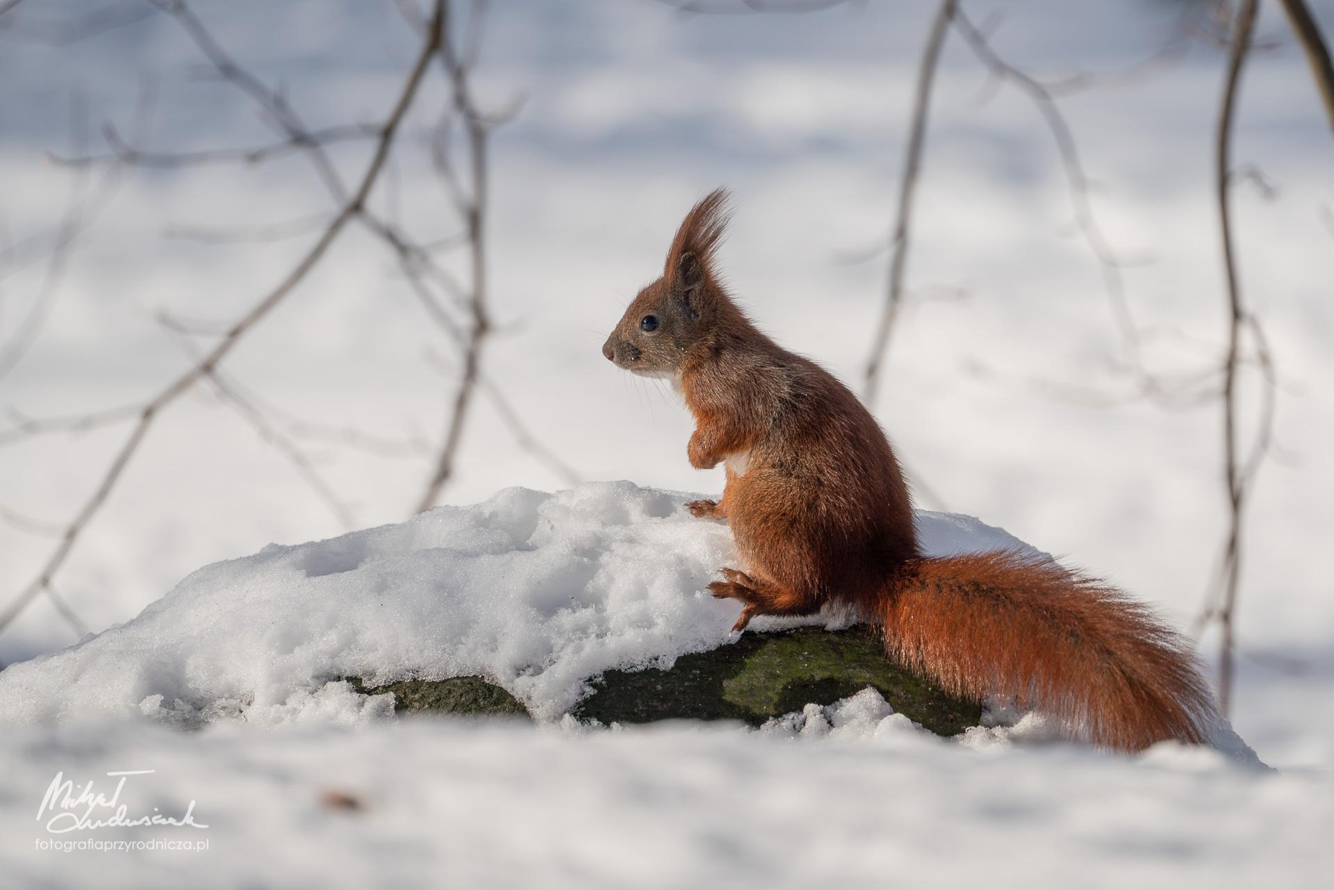 Wiewiórka na kamieniu