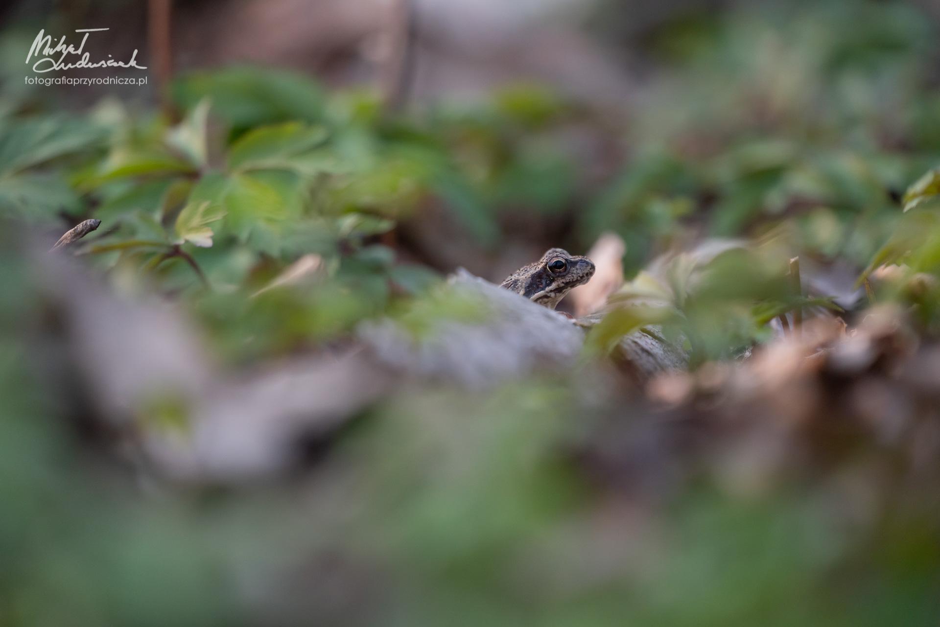 Żabka w zawilcach