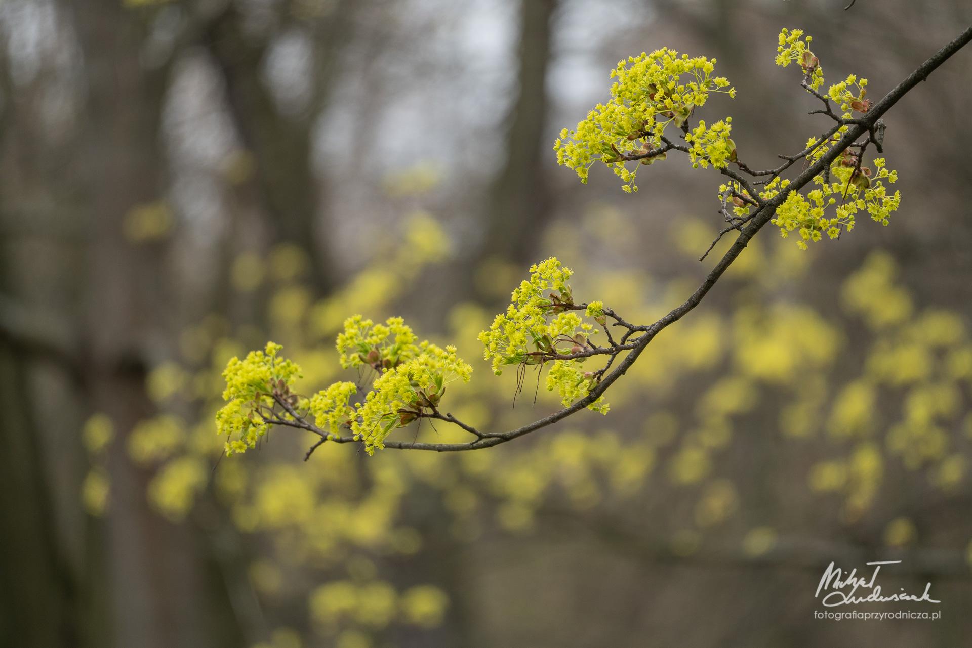 Kwiaty klonu