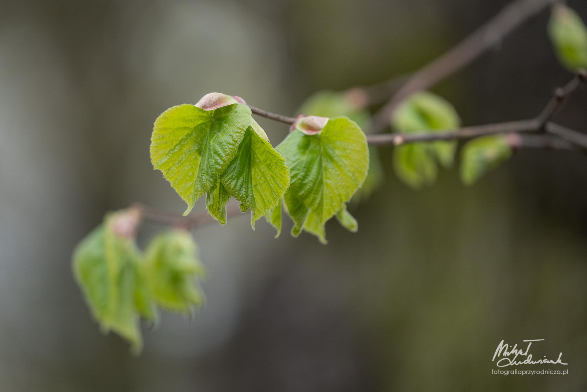 Młode liście lipy
