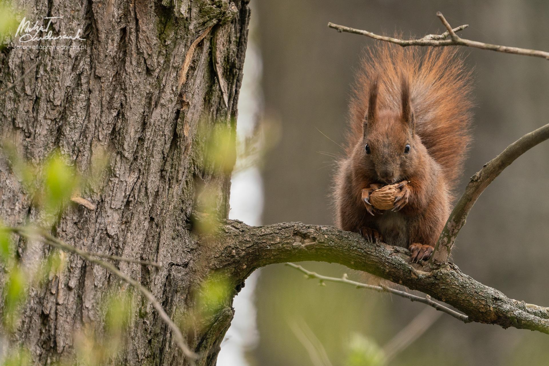 Wiewiórka je orzecha