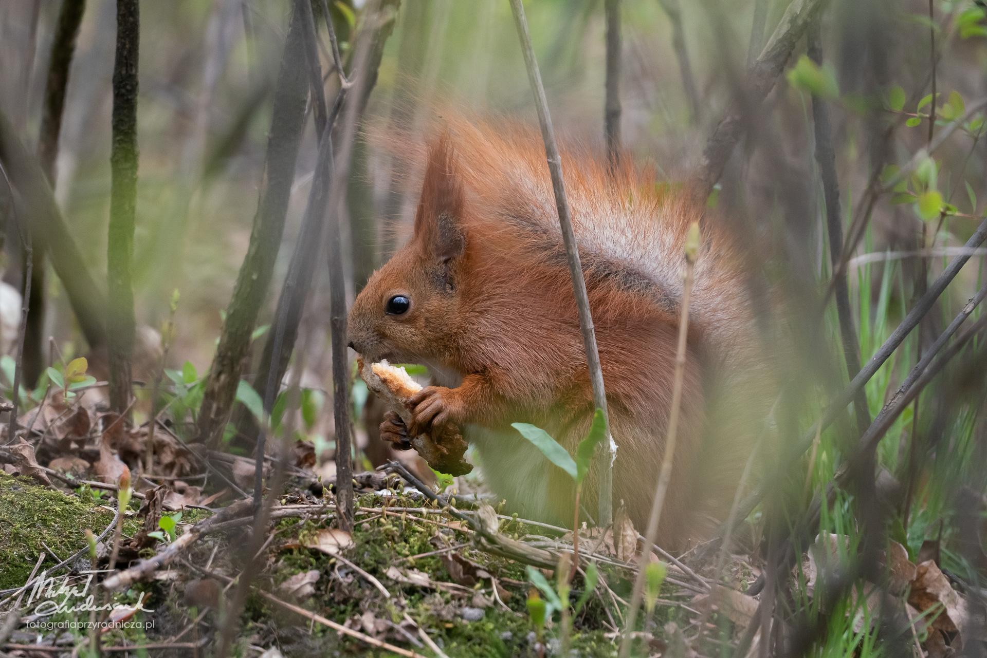 Wiewiórka pałaszuje kromkę suchego chleba