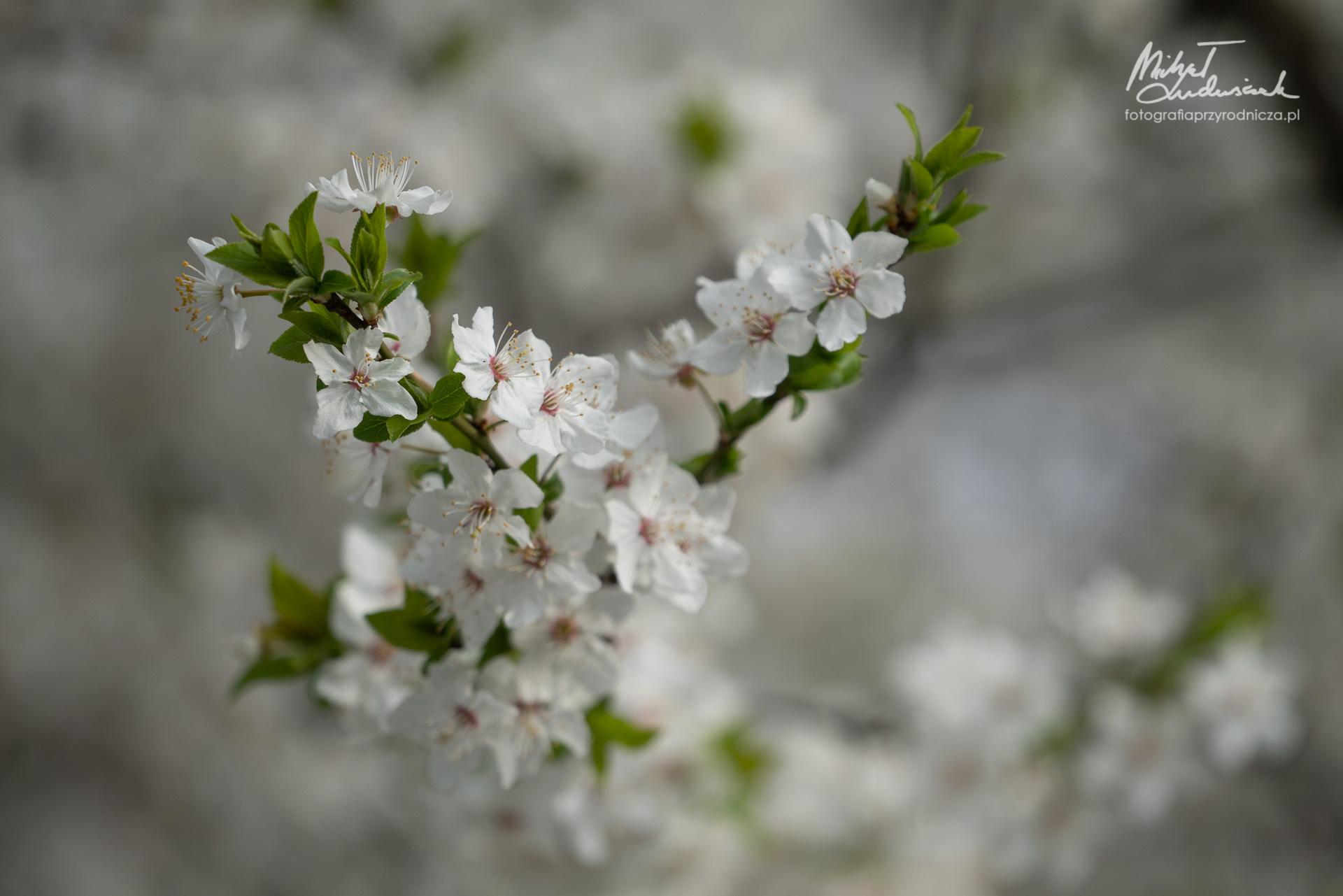 Wiosna sypnęła kwieciem