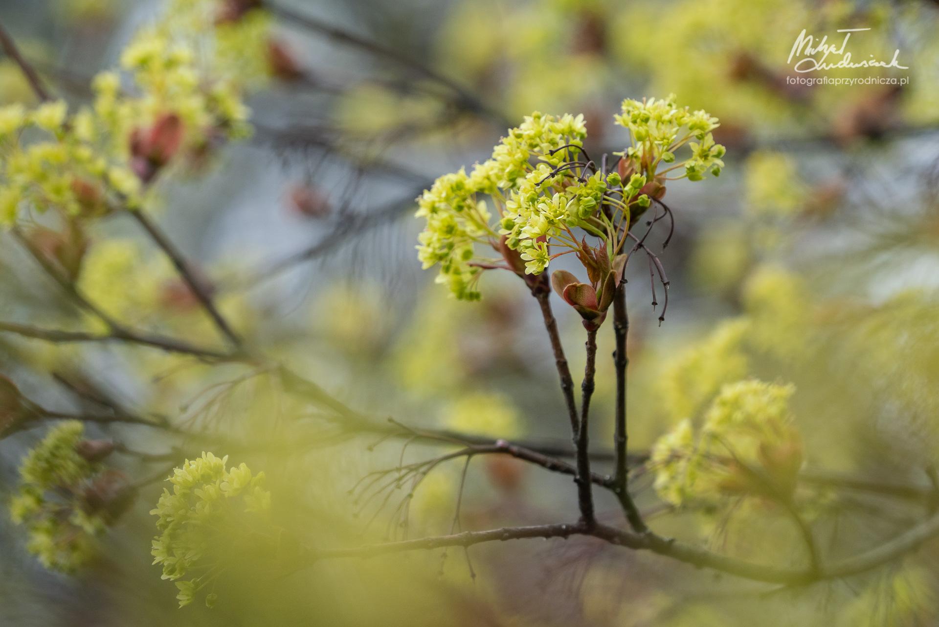 Młode kwiaty klonu