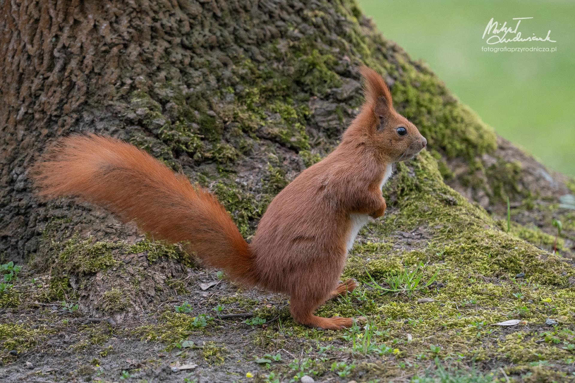 Wiewiórka, sztuka balansu