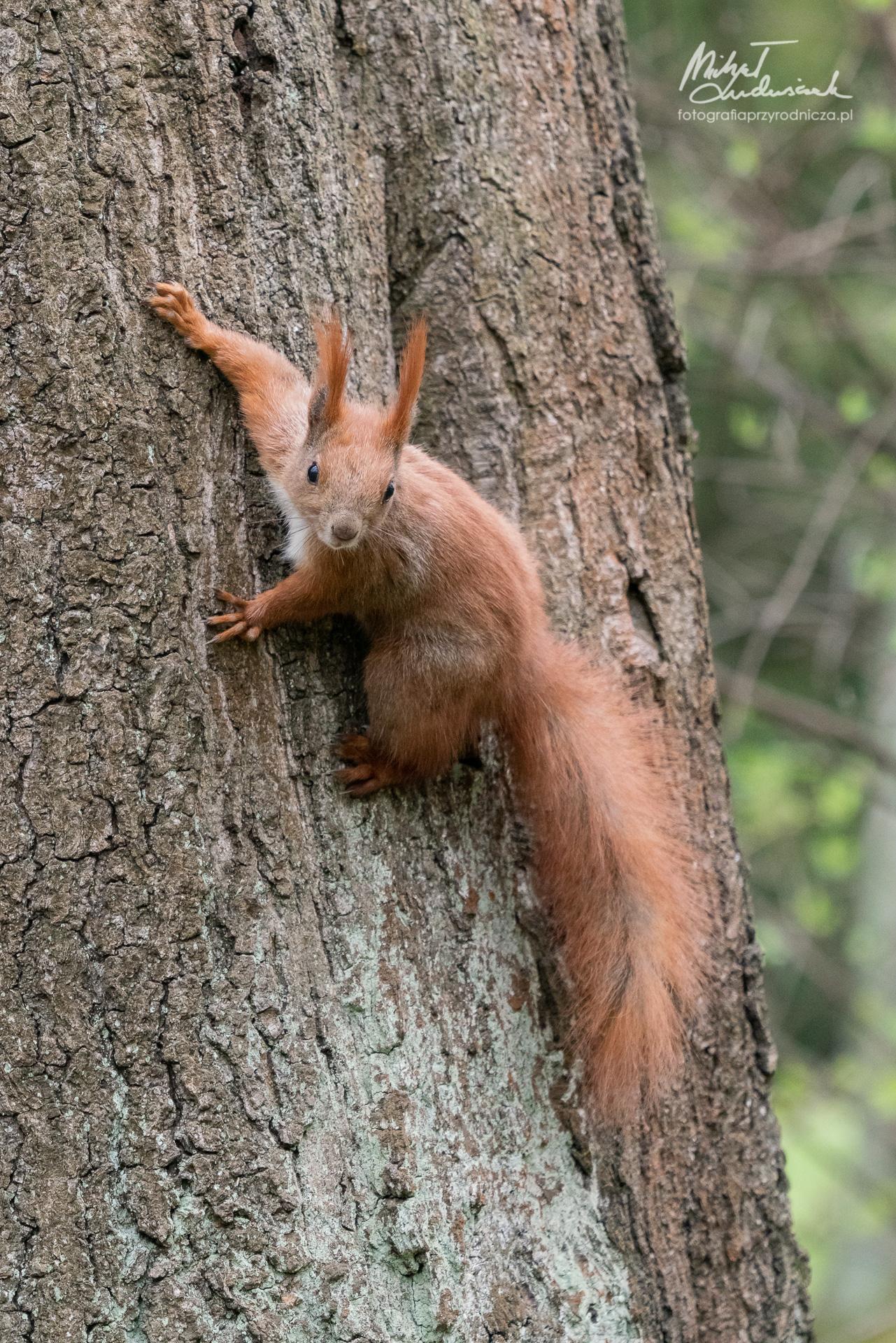 Wiewórka na drzewie