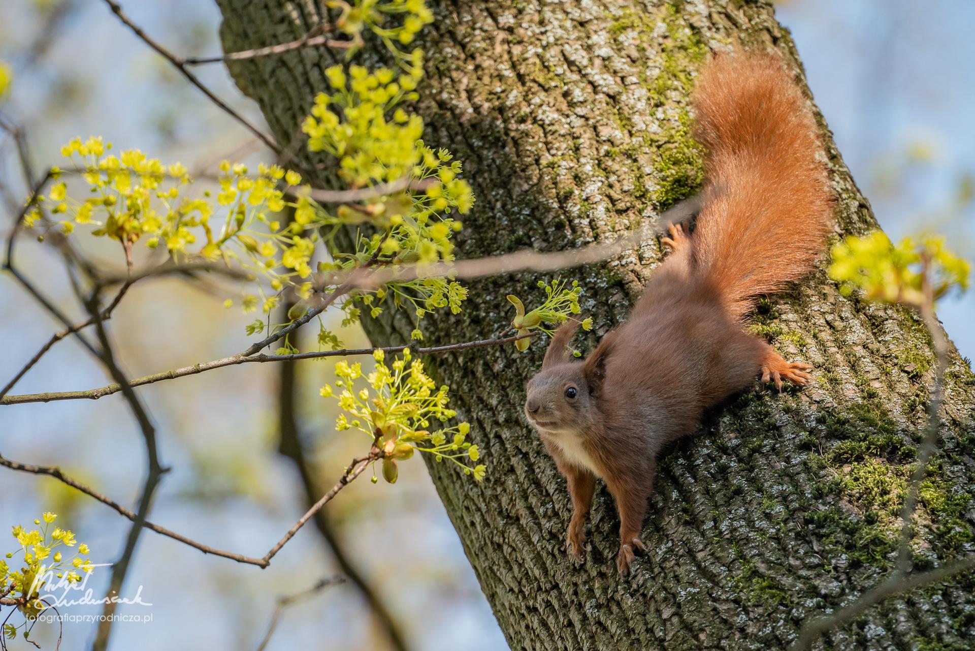Wiewiórka wąchająca kwiatki klonu