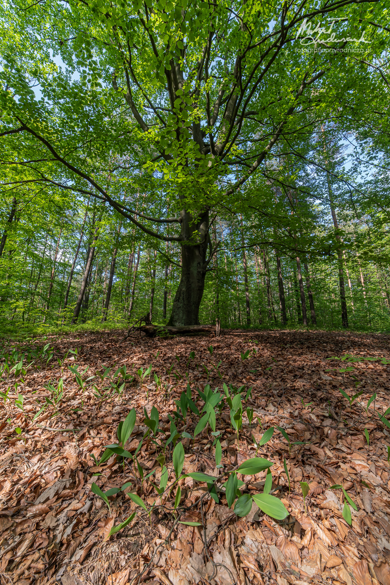 Konwaliowy las