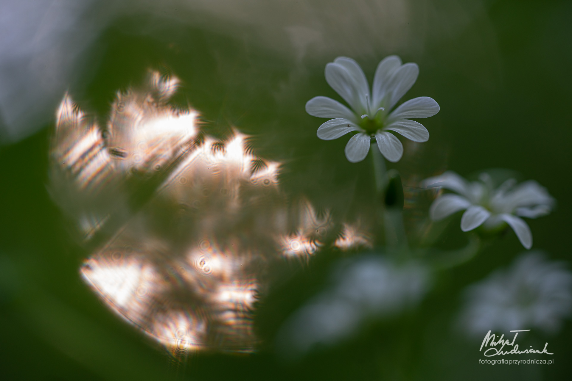 Gwiazdnica wielkokwiatowa