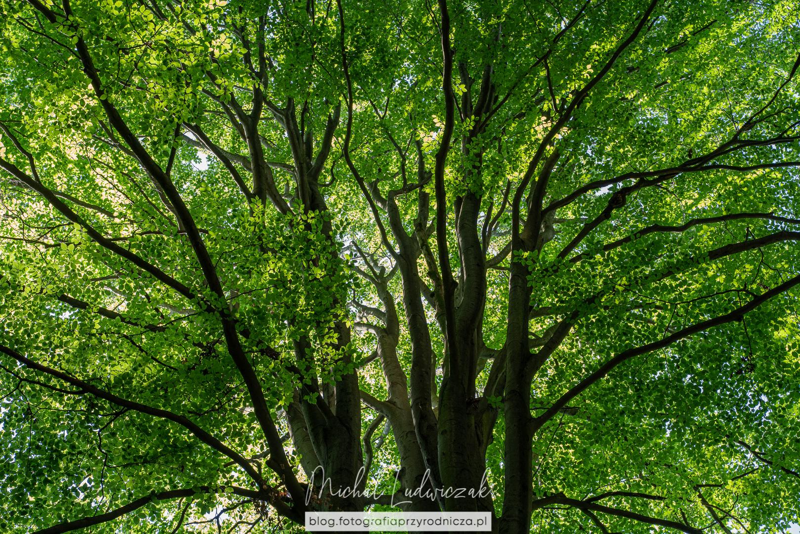 Bukowa zieleń