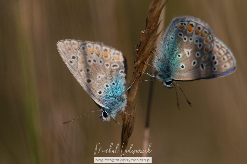 Ostrość i głębia dobrana w taki sposób, że głowy obydwu motyli są ostre